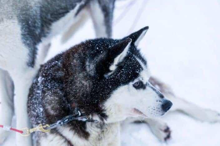 What do you call a black Eskimo dog? A dusky husky!.jpg