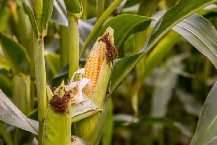 corny dad jokes-corn