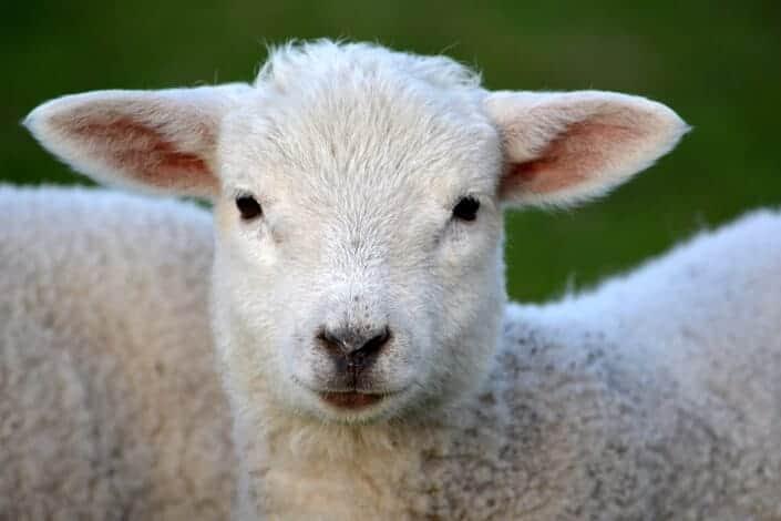 corny dad jokes-lamb